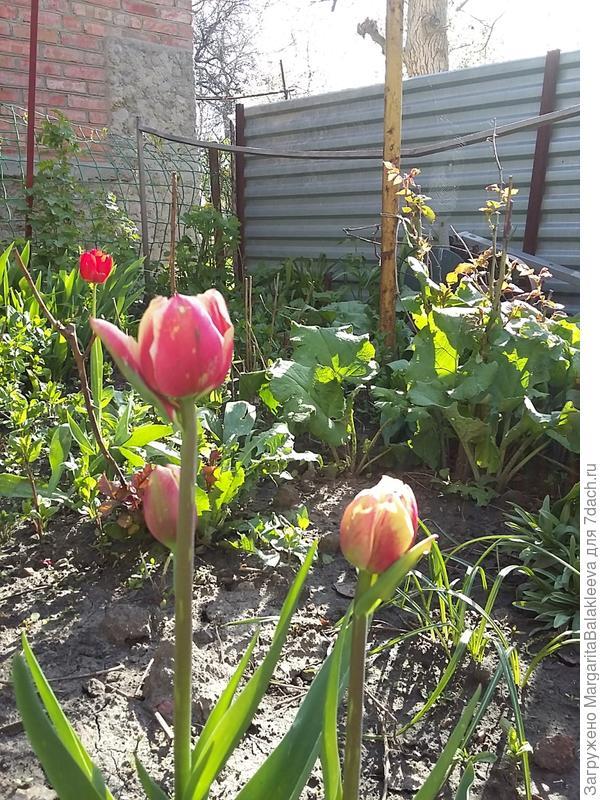тюльпаны странного цвета и со странной каймой