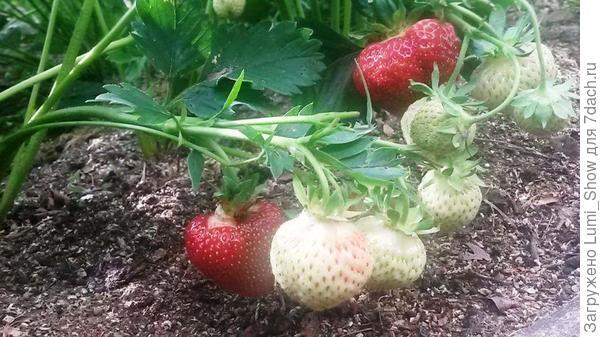 Июль 2015, зреет первый урожай, земляника Polka