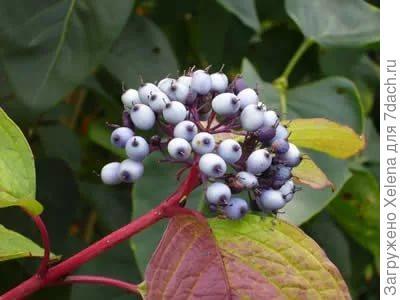 Плоды дерена белого.