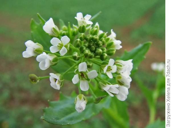 Цветки ярутки полевой