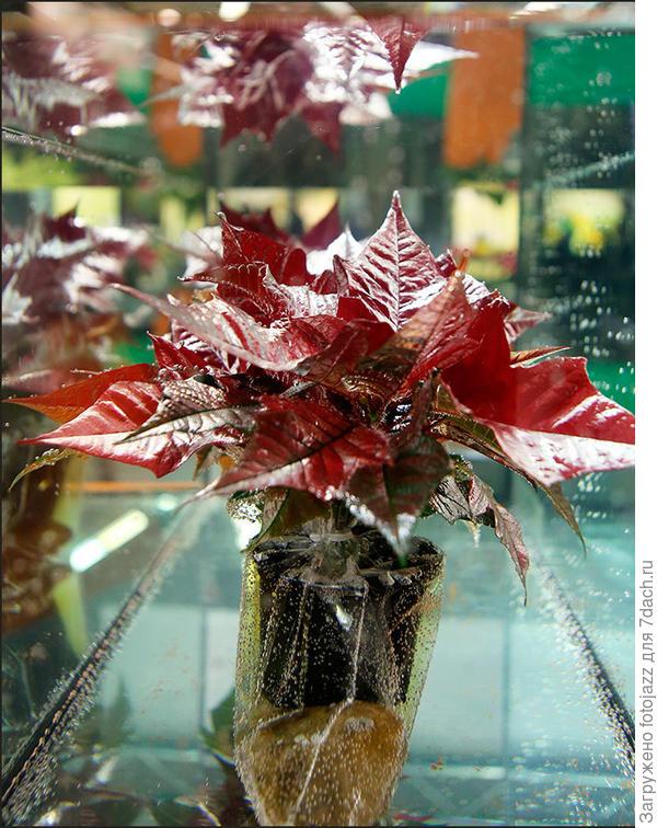 А вот с этой идеей,я так и не въехал. Может кто из спецов объяснит,зачем авторы погрузили это растение с горшком в аквариум с водой?