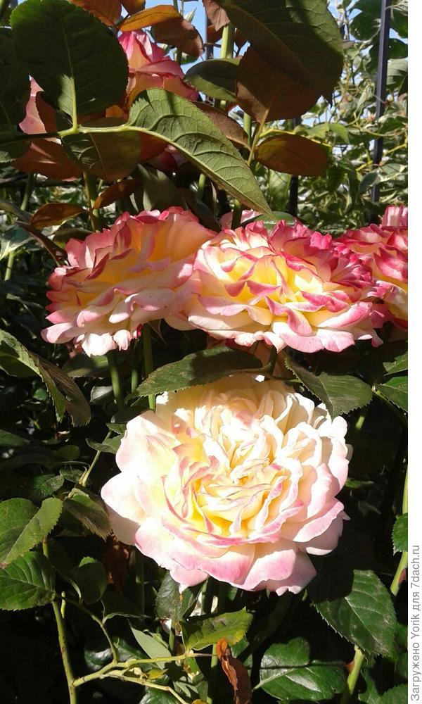 Продолжение розового сезона