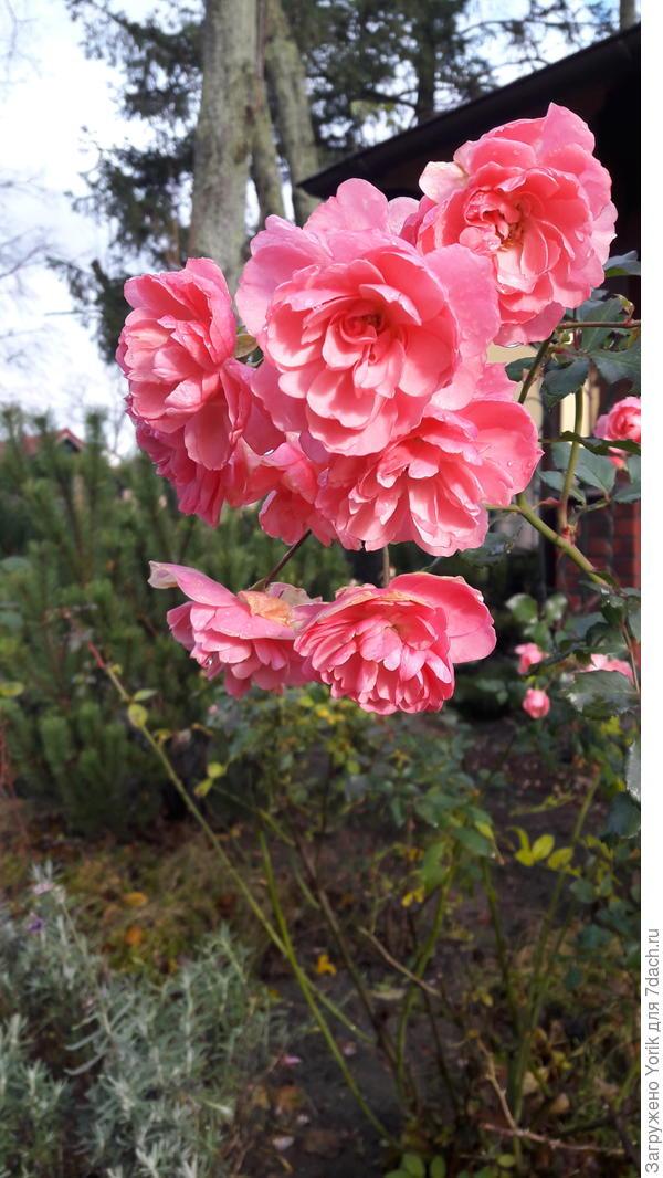 Роза отцветает