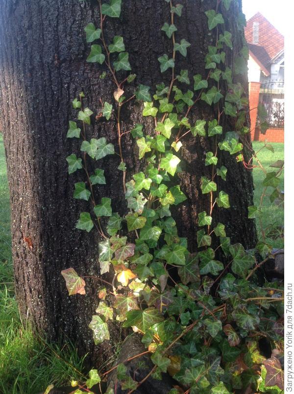 А я всю зиму буду радовать вас зеленой листвой!!!!