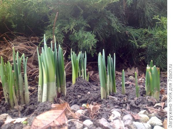 Нарциссы почувствовали приближение весны