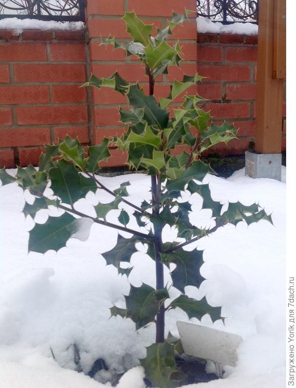 Падуба остролистный зимой