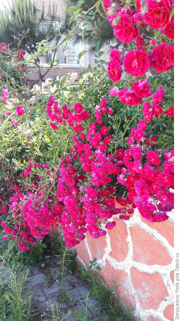 Но изгороди из роз, уже цветут и пахнут