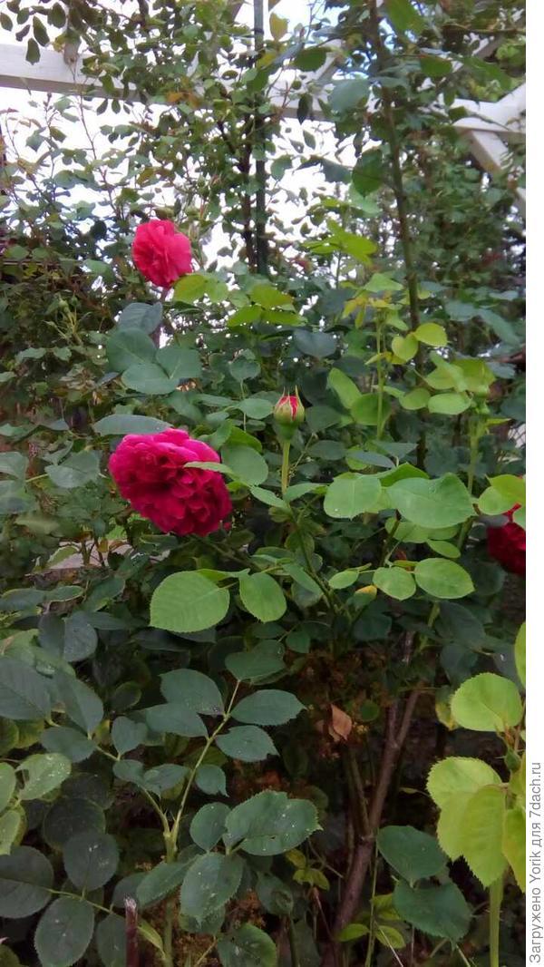 Розы соьираются