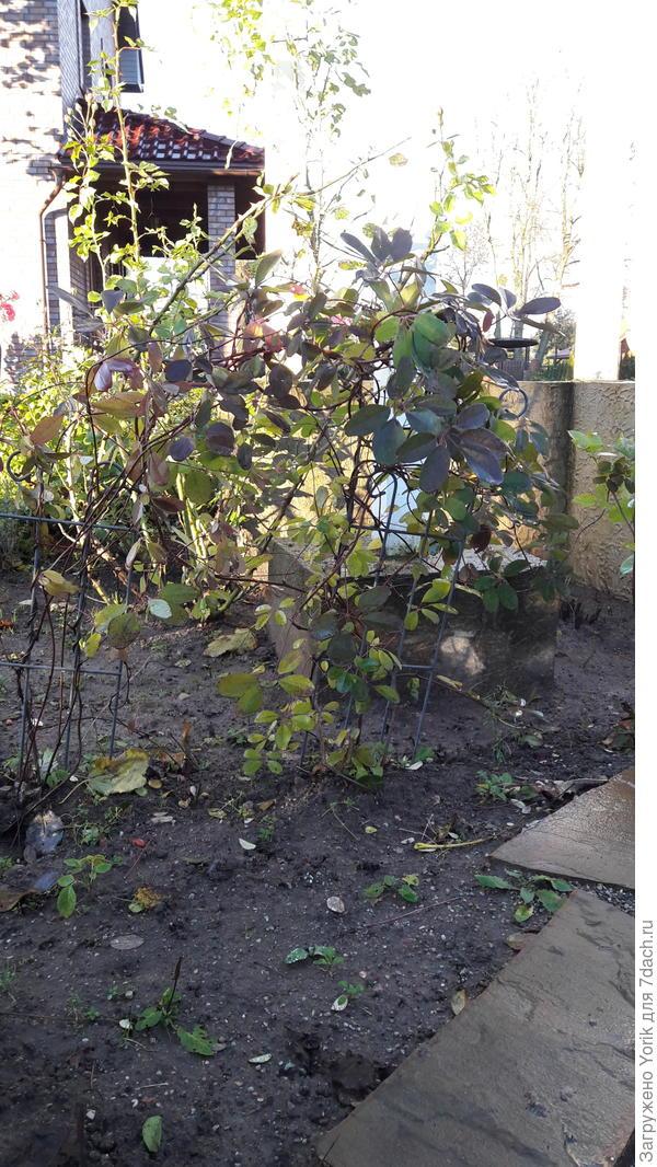 """Акебия, в прошлом году без укрытия в состоянии """"крысиного хвостика"""" пережила зиму. За лето подросла, готовится к новой зимовке"""
