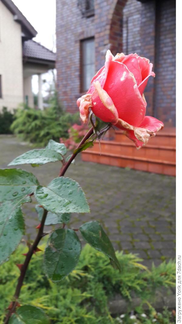 Некоторяе розы еще радуют одиночными цветами