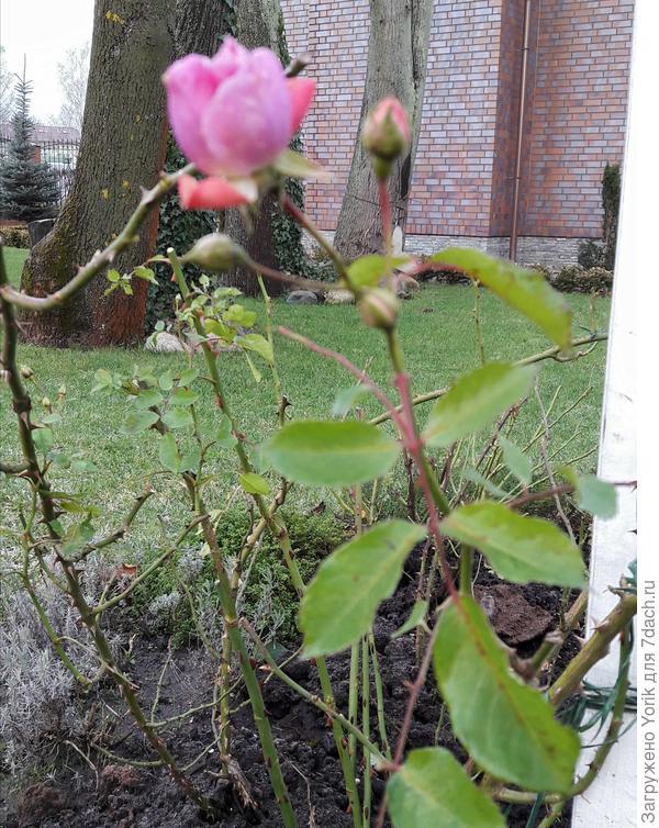 Хотя.... и роза постаралась порадовать на Новый год