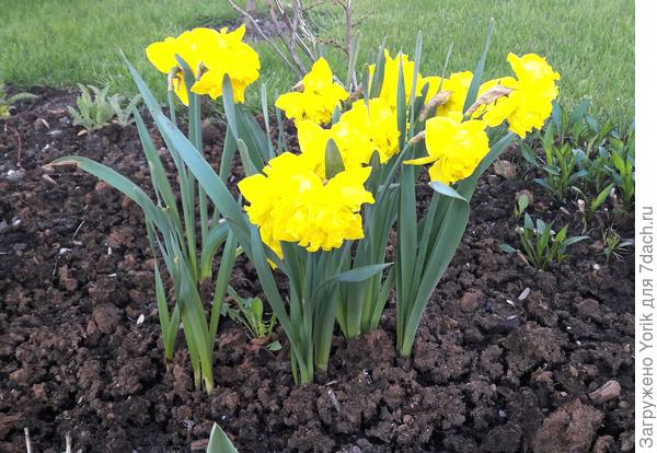 Ну и какая весна без нарциссов