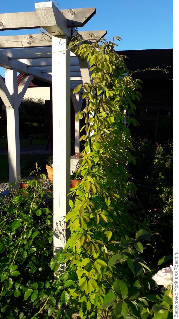 """Акебия, действительно агрессивное растение. Два года назад из земли торчал """"крысиный хвостик"""""""