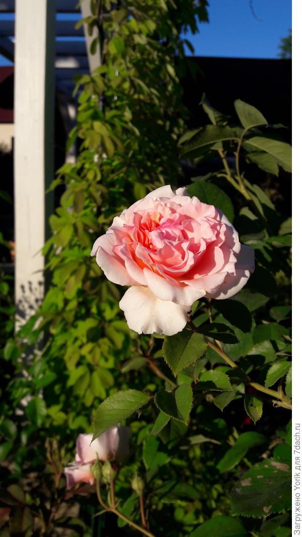 Начали потихоньку распускаться розы