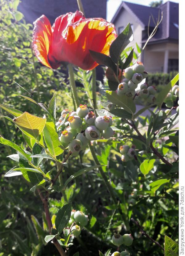 Созревающая голубика и отцветающий мак