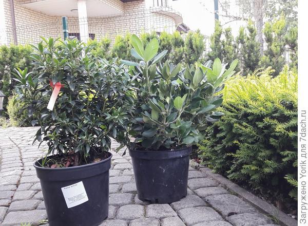 """Новые жильцы сада: Рододендрон """"Gold Krone"""" и Кальмия широколистная.  Давно, недели две назад, решил, что надо посадить рододендрон с желтыми цветамт. Ну а кальмия в списке с начала года"""