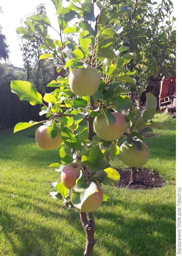 Яблоня напоминает, что скоро Яблочный Спас