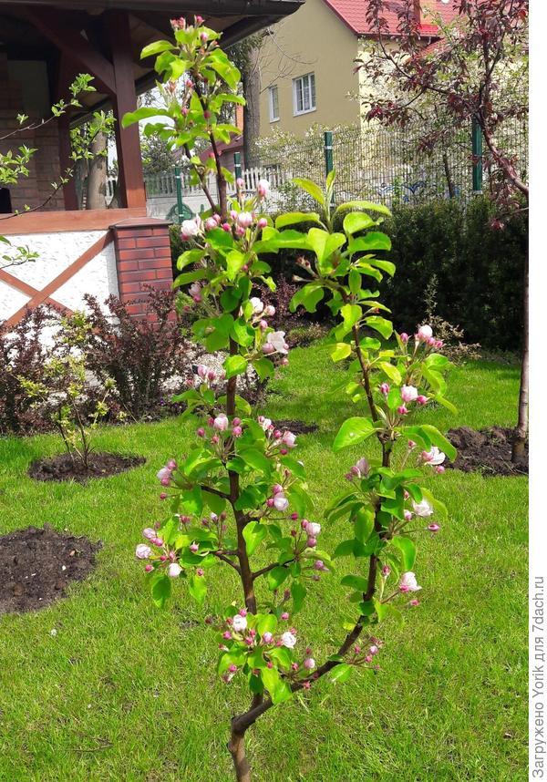 Цветение деревьев приходится на весеннее время года и отличается необычайным обилием