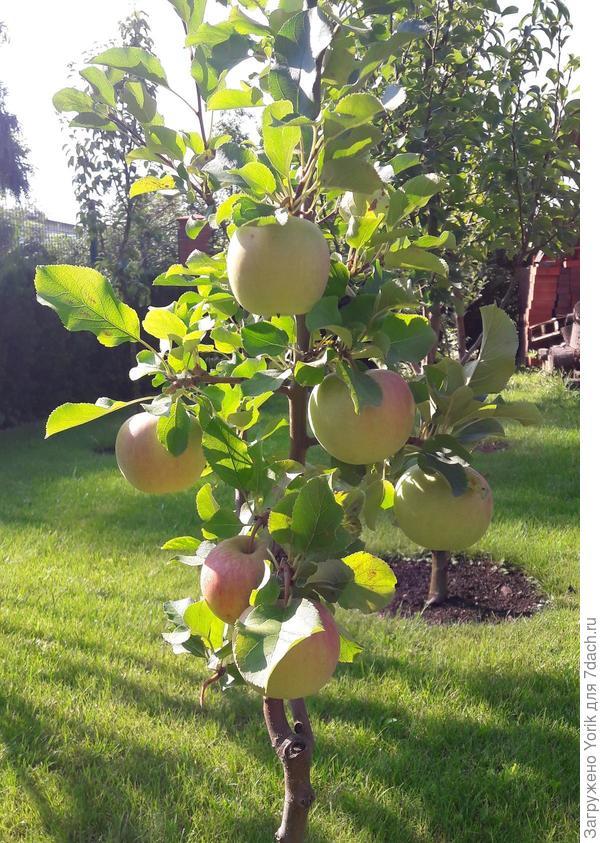 Форма у яблок правильная — округло-овальная, плоды практически одномерные. Основная окраска желтовато-зелёная, покровный румянец — в виде красно-оранжевых нечётких полос и пятен, которые в период полной спелости охватывают практически всю поверхность