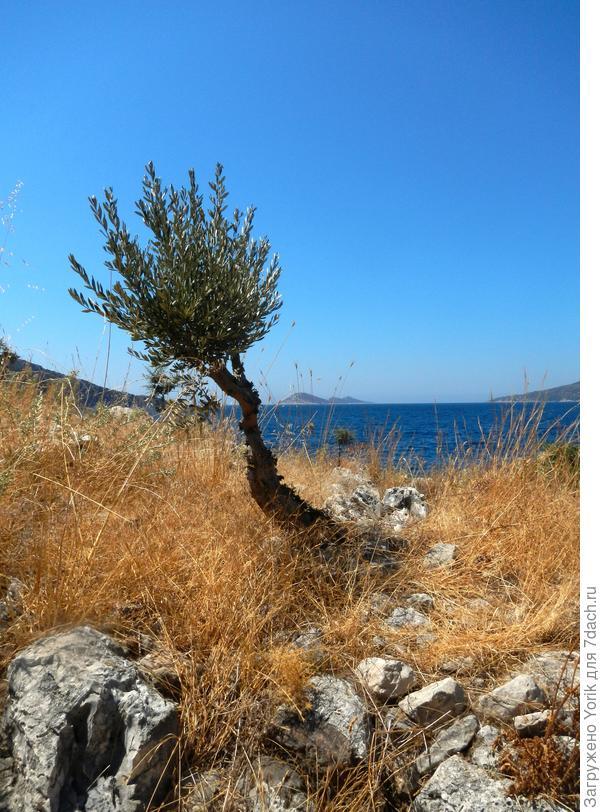 Начну с берега. Берег дикий с очень оригинальными оливковыми деревьями