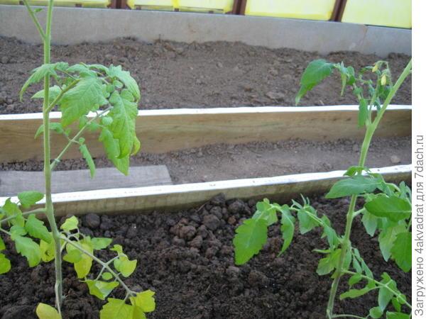 Посаженные томаты