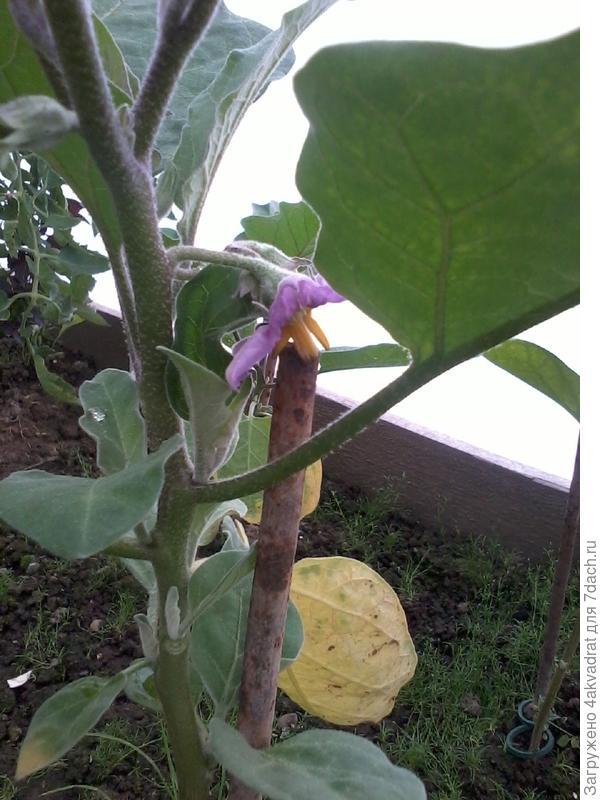 Цветущий баклажан
