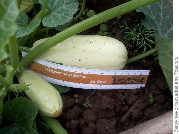 Рост кабачка