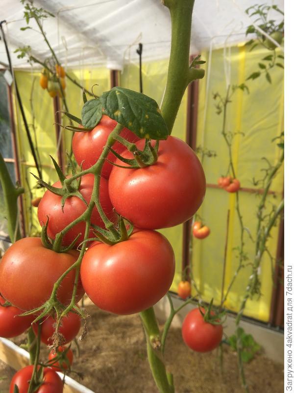 Кисть созревшая, но один томат был снят раньше