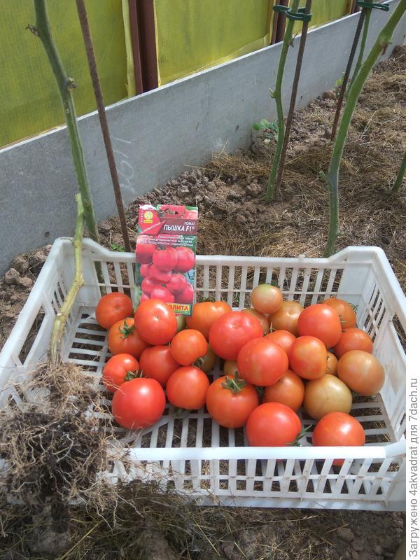 Урожай, снятый с 3-х кустов 5 августа.