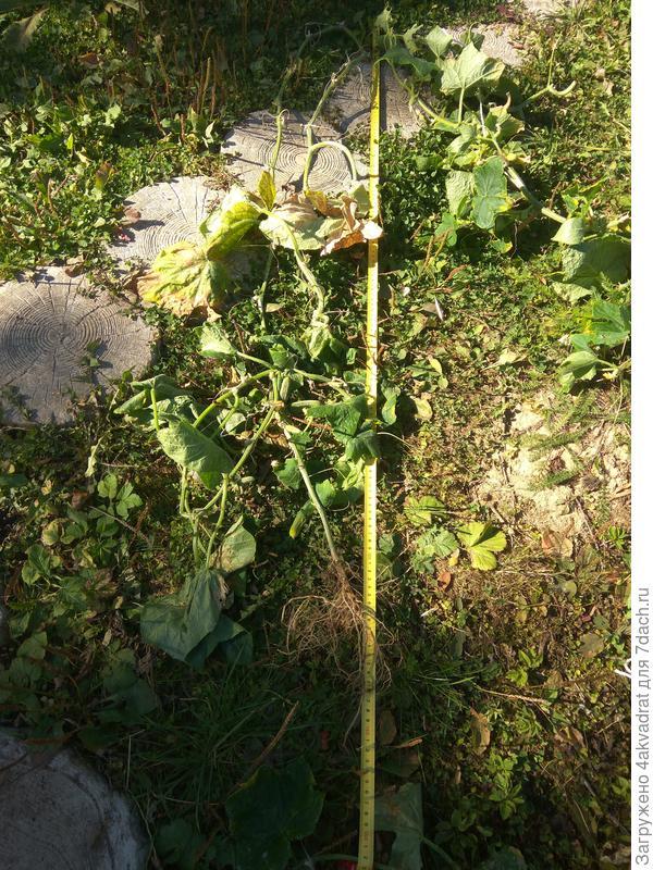 Длина плети у второго растения