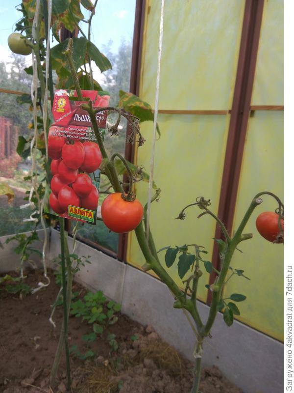 Последние томаты