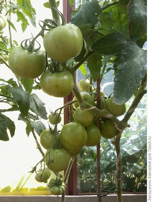 Так куст выглядел 15 июля, ну не хотят томаты краснеть.