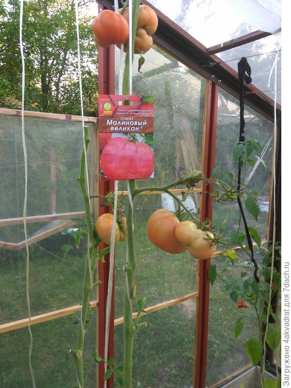 Так томат выглядел 29 августа.