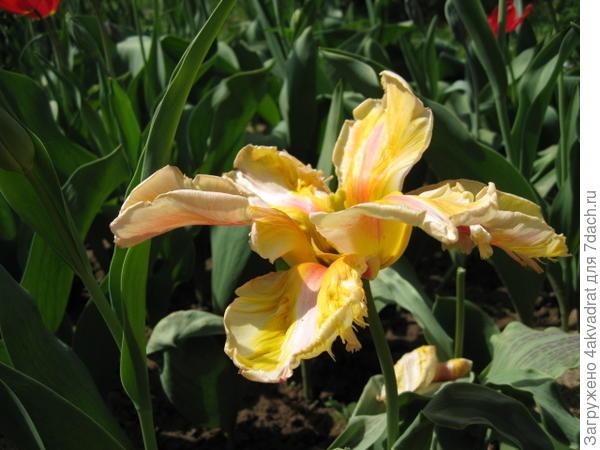 Один из самых ранних и необычных тюльпанов