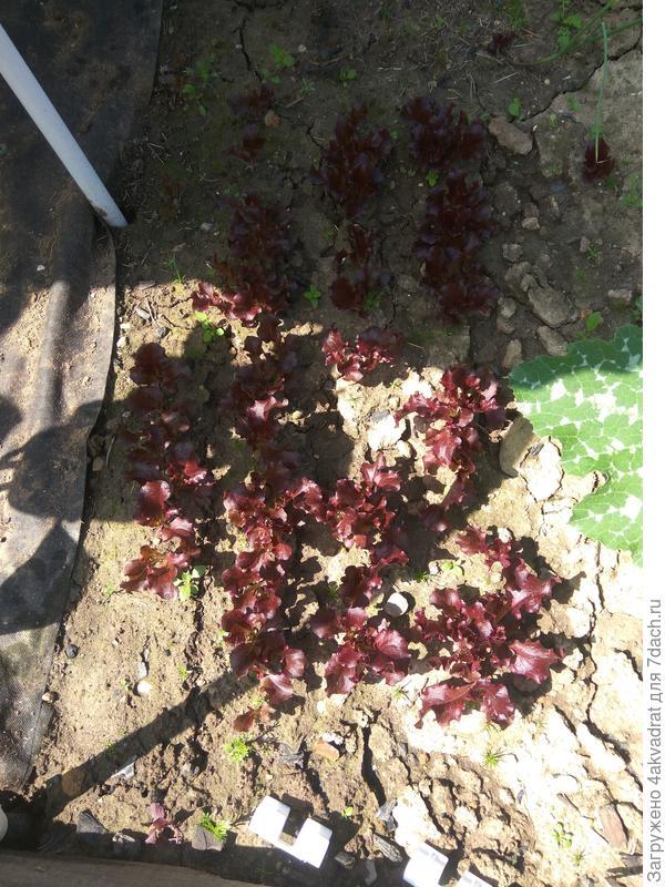 Салат 'Гранатовый блеск' от Русского Огорода – это просто блеск и красота