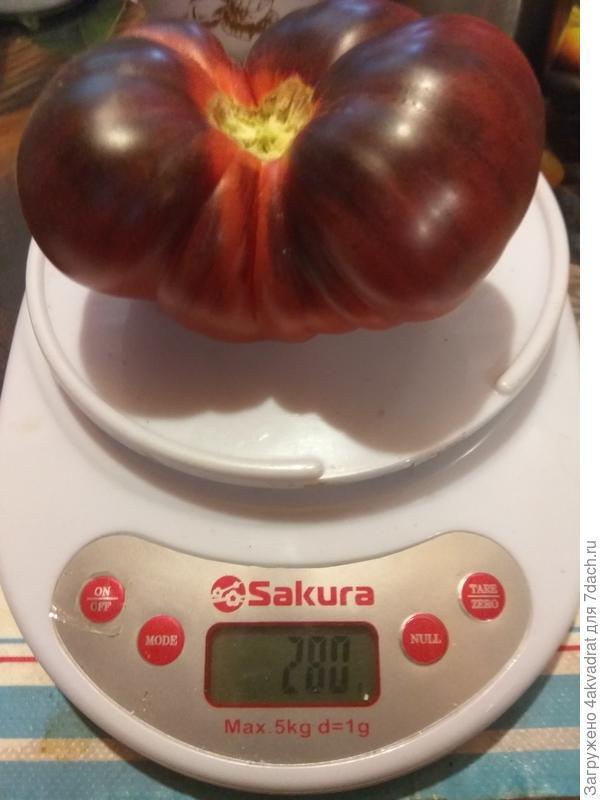 Итоговый отчет. Томат 'Лазурный гигант' - франт на томатной грядке