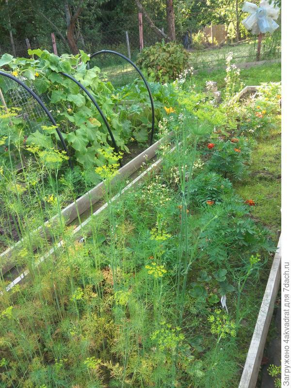Итоговый отчет. Укроп 'Витязь' - даже простой укроп бывает вырастить непросто, или Неудачный опыт выращивания