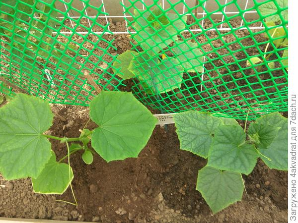 Огурец Приятель – смена условий выращивания 'Приятелю' не по нраву