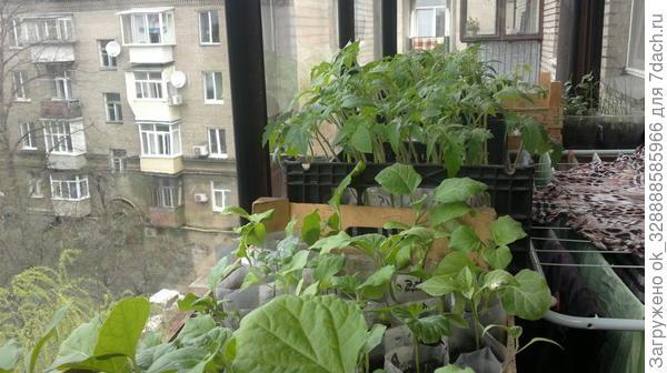В апреле рассада закаляется на застекленном балконе перед вывозом и высадкой на даче.