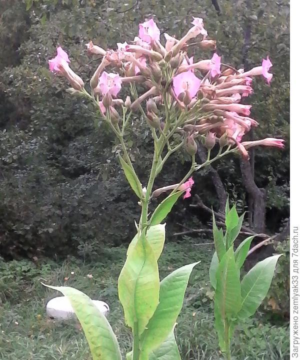 Диковинный цветок - высокий, как подсолнух.