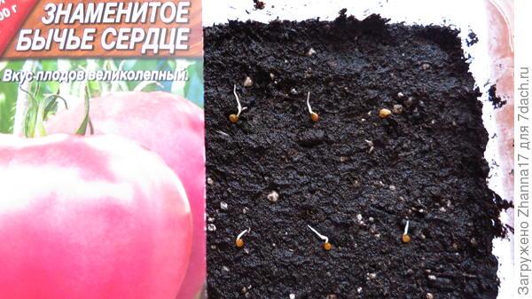 Землю предварительно пролила раствором фитоспорина, уплотнила и выложила семена, сверху присыпала грунтом примерно 1 см, верхний слой уплотнила.