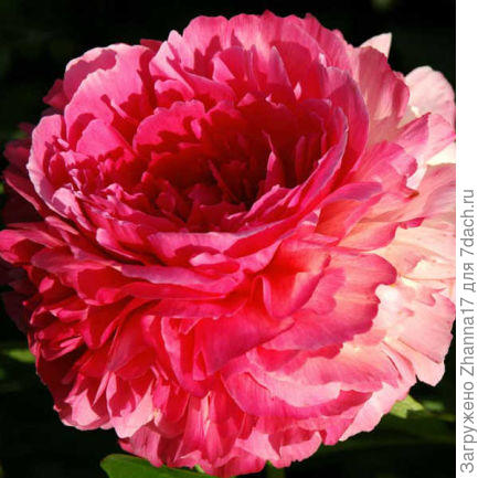 Гибрид. Цветок махровый, густо-розовый при раскрытии, затем внешние лепестки светлеют, а плотно уложенные внутренние лепестки сохраняют глубоко-розовый цвет, что создаёт очень необычный эффект. Хороший цветок для срезки. Ароматный. Высота 80 см. Срок цветения ранний.