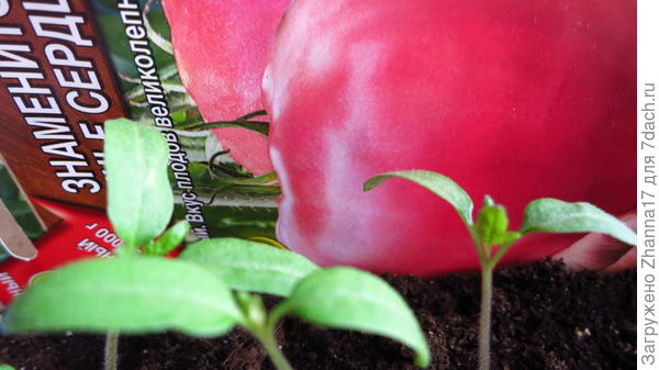 На 20 марта все томаты имели настоящие листы.