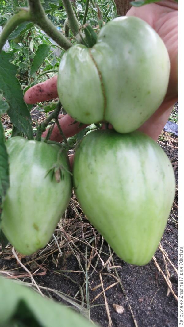 На втором кусте сформированы три плода.