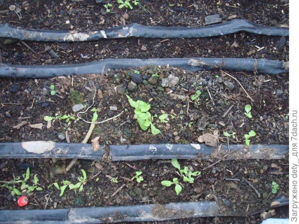 А вот салатик - Московский парниковый - почему- выборочно, хотя сеял достаточно густо для последующего прореживания.