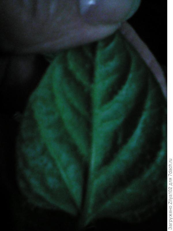 лист перца