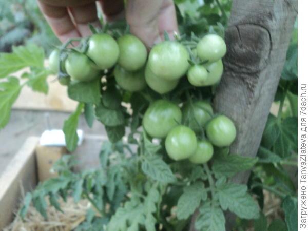 и это где-то 1/3 всех томатиков, что сейчас на нем))) Воть!