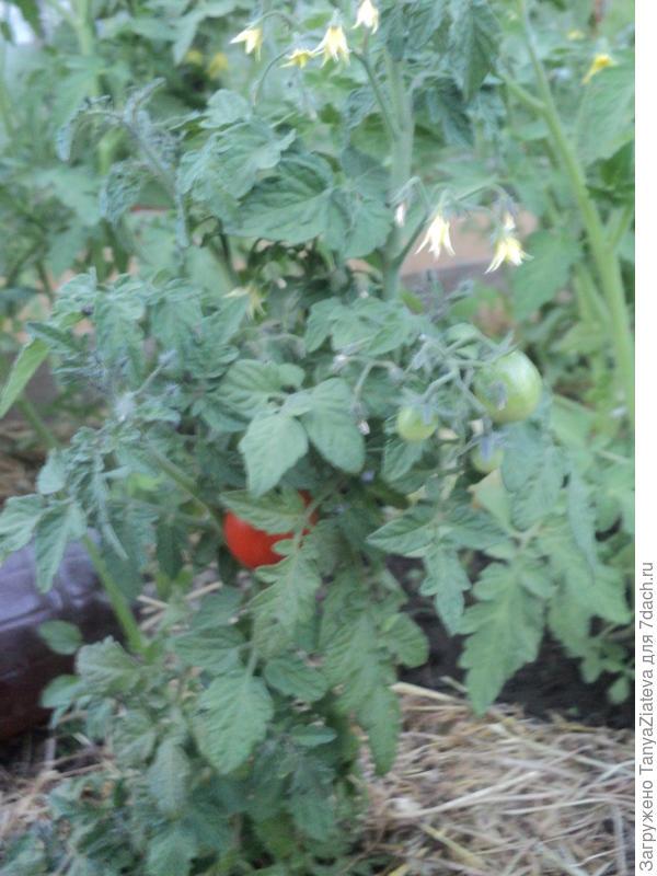 это один, на нем самом первом томатик появился)))