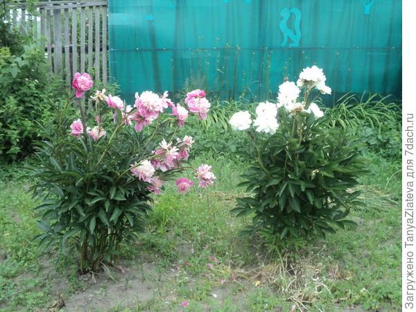 пионы цветут последние денечки