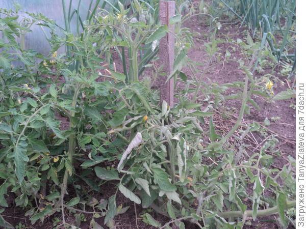 вот эти помидоры подмерзли в теплице 9 мая и я их пересадила в ог - они выжили и отлично себя чувствуют, цветут и завязали маленькие помидорки